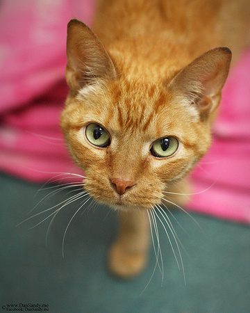 """2016-01-08 - Honorable Mention - Pictorial Competition - """"Orange Kitty"""""""