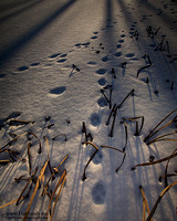 "2014-09-12 - Pictorial Competition3rd Place - ""Snowy Prints"""